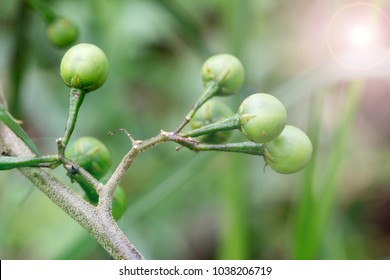 Solanum torvum ; Bunch of round green fruits. clinging on long stalk. natural sunlight.