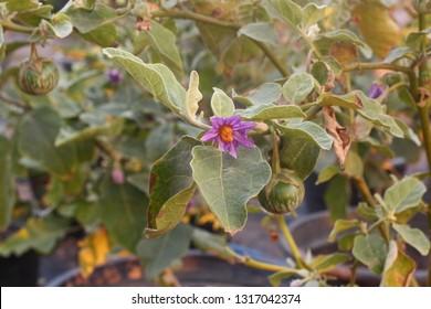 Solanum xanthocarpum Eggplant flower Flowering is a bouquet of flowers, solanum xanthocarpum.