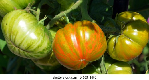 Solar Flare tomatoes are large, weighing between 6 and 10 ounces, and they have vibrant red skin with golden stripes.