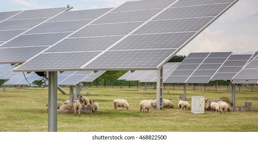 Solar panels with sheep