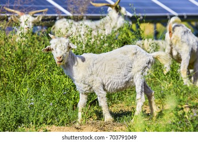 In the solar photovoltaic panels below the grazing sheep