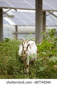 Solar photovoltaic panels under the sheep