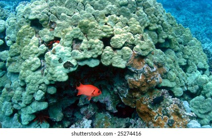 Soldierfish, Ahihi Kinau, Maui