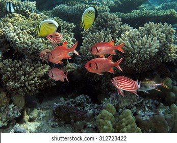 Soldierfish and butterflyfish on coral reef