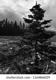 A sole pine tree defies the landscape in this black and white shot of the open land at the start of Eagle's Nest, Colorado.