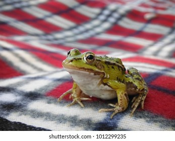 Solenna toad from the lake