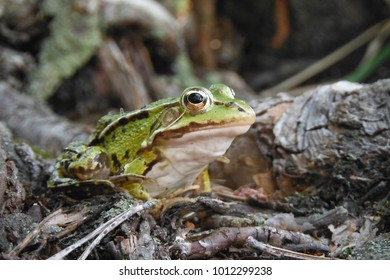 Solenna toad in a summer forest