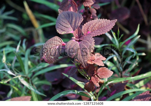 Solenostemon Scutellarioides L Coddshrub 4080 Cm Stock Photo Edit