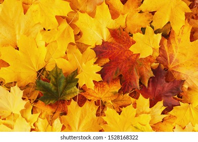 A solid background of fallen autumn foliage. Bright yellow and red maple leaves. Beautiful warm autumn, hello November. Autumn natural background. Rest in the park, calm and relaxation. Close up.