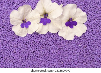 A solid background of purple grains with white petunia and lobelia flowers