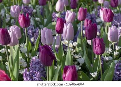 Solid coloured Tulips plants. Spring blooming perennial herbaceous flower. Exist in a multitude of colours, Popular as cut flowers.