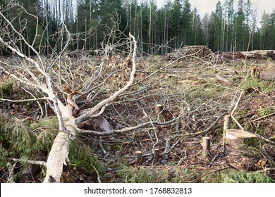 Solid logging, some trees and felling remains have not been removed. Moose go to the clearing to feed on the bark and branches of fallen aspens
