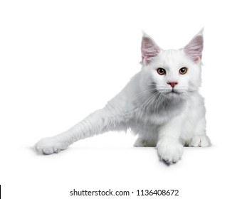 Solid white Maine Coon cat kitten with attitude lstanding ready to jump (like ice skater), looking straight in lens isolated on white background