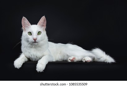 Solid white young Turkish Angora cat with green eyes laying side ways isolated on black background looking at camera