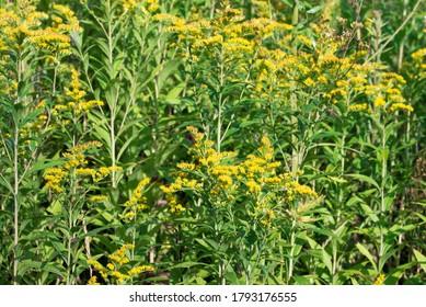 Solidago canadensis Canada verge d'or fleurs jaunes dans l'prairie mise au point sélective