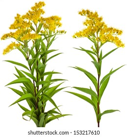 Solidago canadensis Goldenrod flower isolated on white background