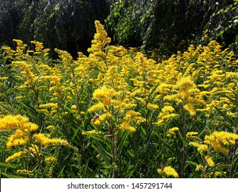 Solidago Canadensis known as Canada Goldenrod or Canadian Goldenrod, in the garden. It is a herbaceous perennial plant of the family Asteraceae.