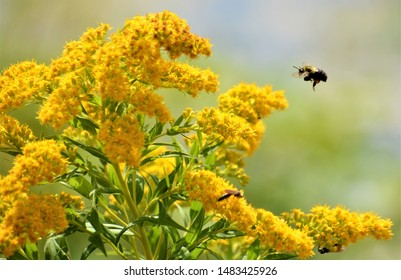 Solidago, commonly called goldenrods, is a genus of about 100 to 120 species of flowering plants in the aster family, Asteraceae.