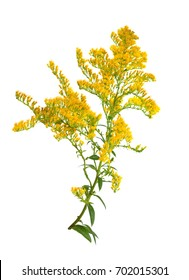 Solidago, commonly called goldenrods. Isolated.