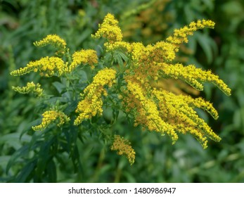 Solidago, commonly called goldenrods, a species of flowering plants in the aster family, Asteraceae