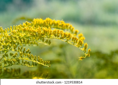 Solidago, commonly called goldenrods. Yellow flowers of goldenrod.