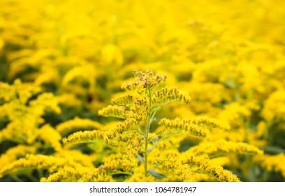Solidago gigantea or Goldenrod flowering plant.