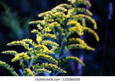 Solidago gigantea - Goldenrod, tall goldenrod, giant goldenrod