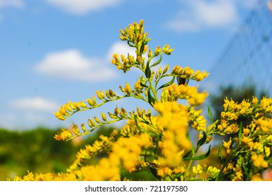 Solidago gigantea - Goldenrod, tall goldenrod, giant goldenrod - invasive species