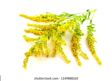 Solidago (Goldenrod) Medicinal Herb Plant. Isolated on White Background.