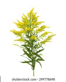 Solidago, goldenrod plant isolated on white background