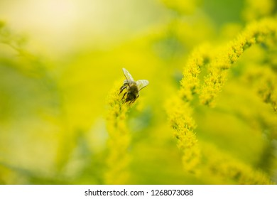 Solidago, goldenrod yellow flowers in summer. Lonely bee sits on yellow flowering goldenrod and collects nectar