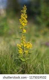 Solidago virgaurea (European goldenrod or woundwort). European goldenrod or woundwort (Solidago virgaurea), close up