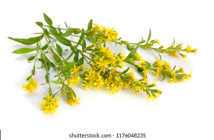 Solidago virgaurea or European goldenrod or woundwort. Isolated.