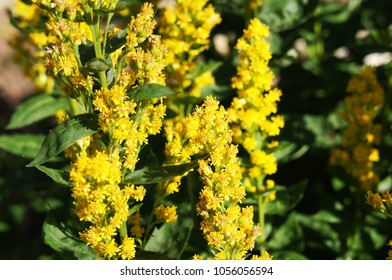 Solidago virgaurea or european goldenrod yellow flowers with green