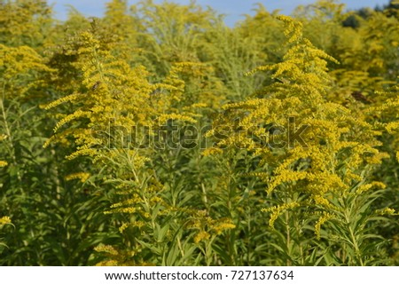 Solidago virgaurea tall plant arrays yellow stock photo edit now solidago virgaurea tall plant with arrays of yellow flowers mightylinksfo
