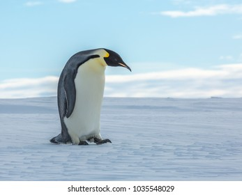 A solitary adult Emperor Penguins walks  over the ice covering the Weddell Sea
