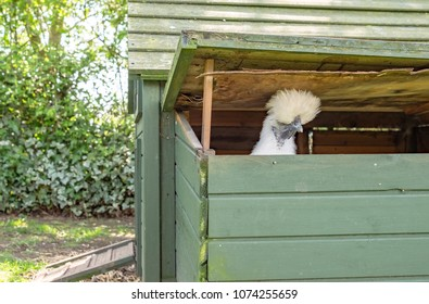 Solitary adult Silkie Hen seen looking out of her Hen House having just played an egg. She is looking to escape through the open roof section and join the other free range flock in a private garden.