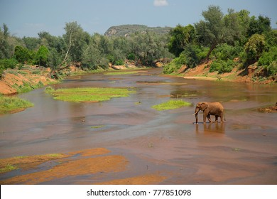 solitary african savanna elephant drinking from sallow river