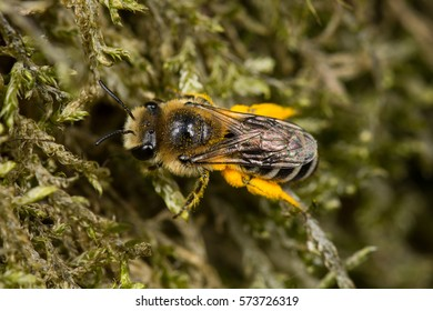 Solitary bee (Colletes sp.)