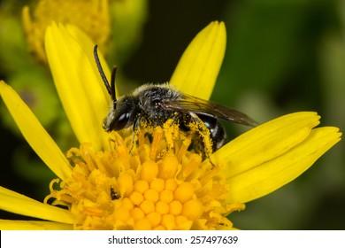 Solitary Bee (Lagioslossum sp.)