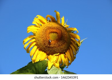 Solitary bees pollinating summer sunflower