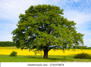 Solitary big old Oak Tree (Quercus) flowering in the midst of rape fields and meadows in Sauerland Germany near Menden Oesbern and Arnsberg, a rural agricultural region
