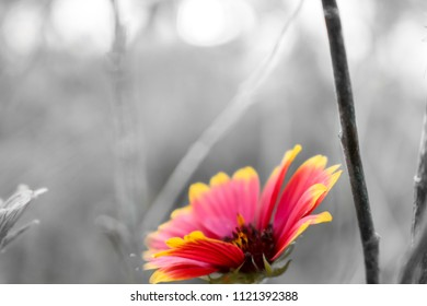 A solitary blanket flower.