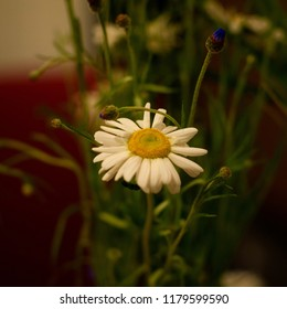 Solitary camomille flower