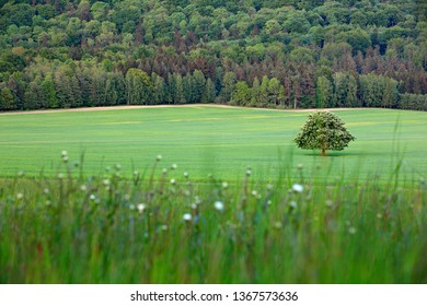 Solitary chestnut tree, with white bloom, on the meadow, with dark forest in background. Landscape from Czech nature. String time, tree with white boom on green meadow, hill Ruzovy vrch, Czech - Shutterstock ID 1367573636