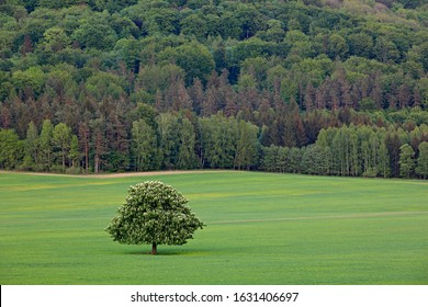 Solitary chestnut tree, with white bloom, on the meadow, with dark forest in background. Landscape from Czech nature. String time, tree with white boom on green meadow, hill Ruzovy vrch, Czech - Shutterstock ID 1631406697