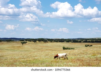 solitary cow in agricultural field
