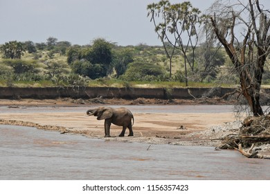 Solitary elephant drinking at Ewaso (Uaso) Nyiro river with doum palms in background, Samburu Game Reserve, Kenya