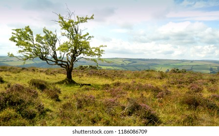 solitary exmoor tree
