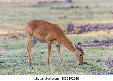 A solitary female Puku antelope (Kobus vardonii), South Luangwa, Zambia, Africa